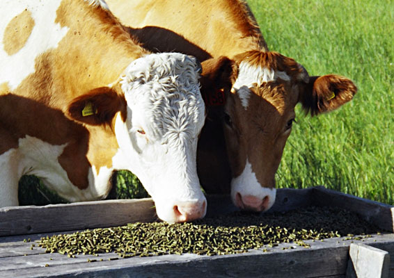 cattle's feed --alfalfa pellet