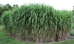 Giant king grass to pellet fuel holds giant profit potential