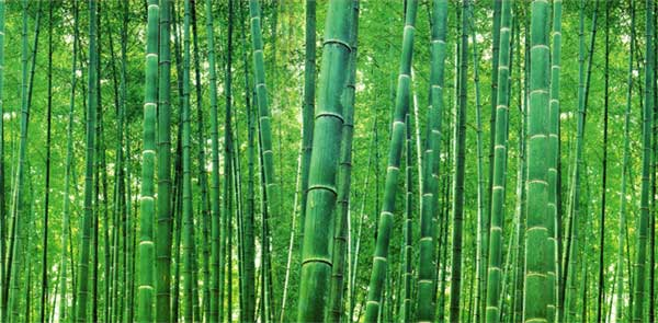 Green bamboo:  a renewable fuel made by  bamboo pellet mills