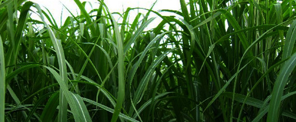 miscanthus for miscanthus pellet production